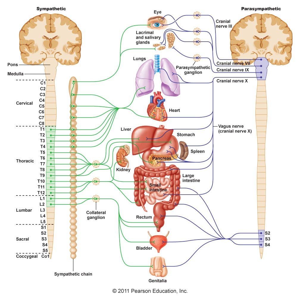 What is the Parasympathetic Nervous System?